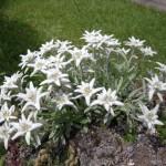 runolist - leonthopodium alpinum
