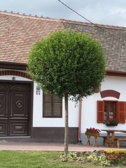 Prunus-fruticosa-Globosa