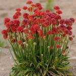 armeria ballerina red