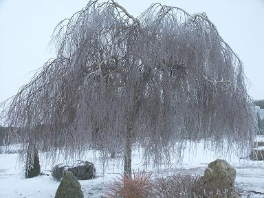 betula pendula- patuljasta breza
