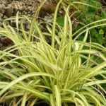 carex evergold compactum