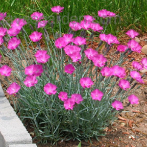 dianthus svetlo roze