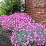 dianthus svetlo roze1