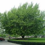 ginko biloba drvo