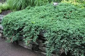 juniperus willtoni