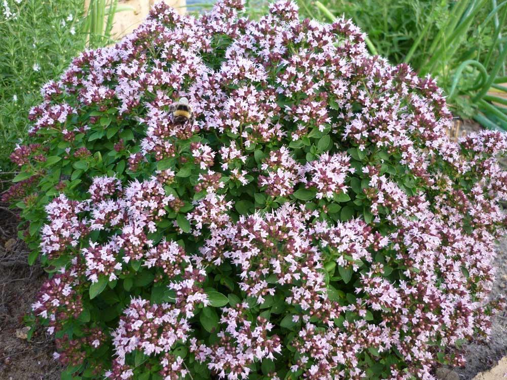 origano biljka