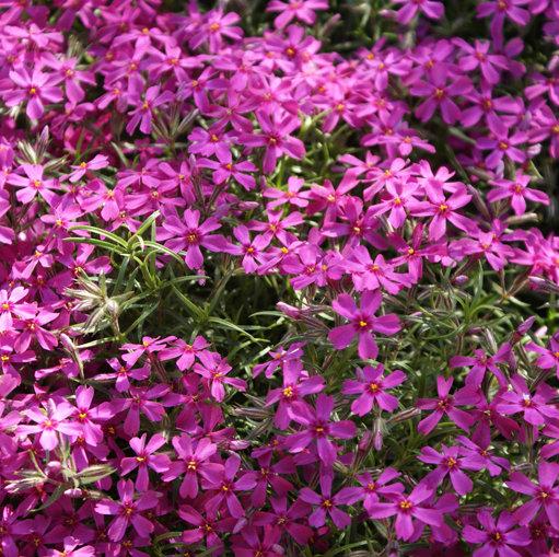 phlox lila koningin