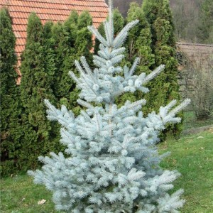 picea pungens edith1