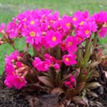 primula gigas pink rubin