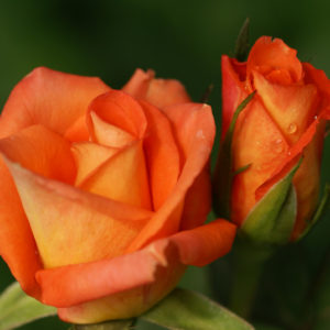 monica ruza cajevka