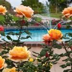 - ruže čajevke