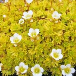 saxifraga aurea