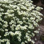 saxifraga pixi white
