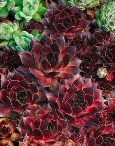 sempervivum marmoreum ornatum