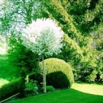 prunus fruticosa globosa1