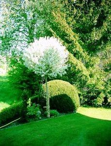 -Prunus Fruticosa globosa1
