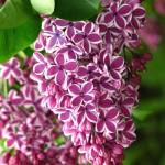 Syringa-vulgaris-Sensation1