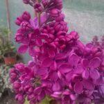 syringa vulgaris - tamno roze