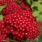 achillea paprika