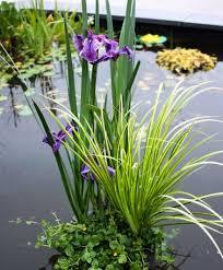 acorus vodena biljka
