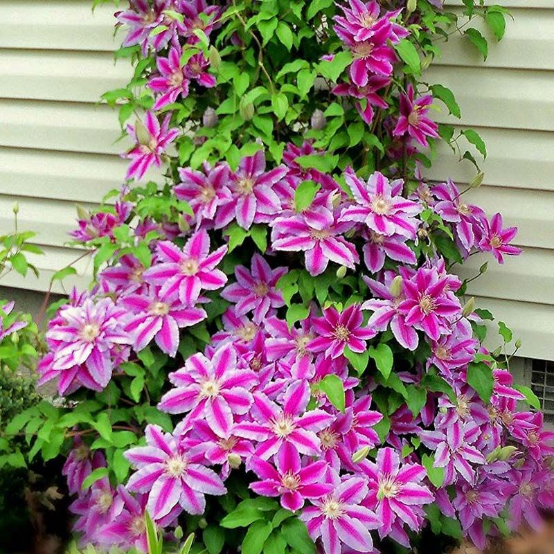 clematis-dr-ruppel2