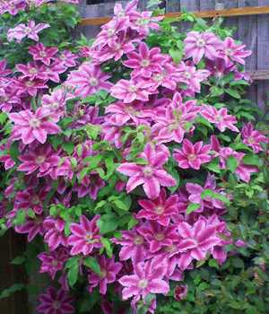 clematis-dr-ruppel1