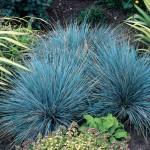 festuca elijah blue1