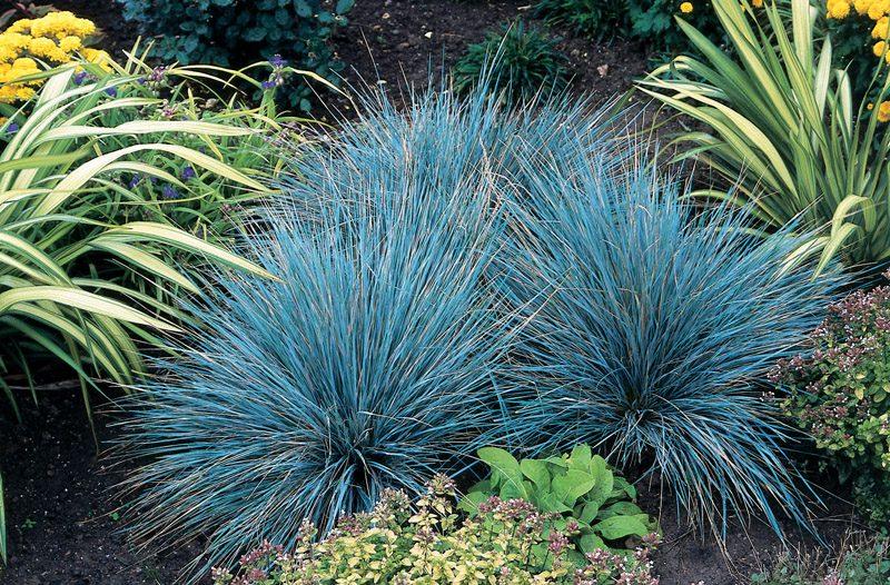 festuca glauca elijah blue1