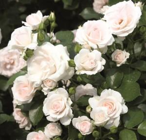 bela ruza aspirin