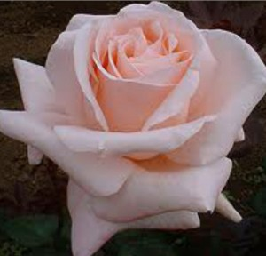 ruža stablasica carla