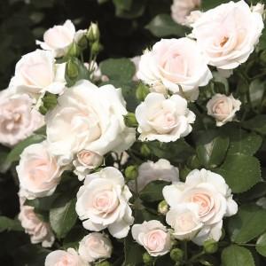 ruza aspirin bela mnogocvetna