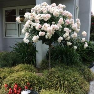 ruza stablasica bela2