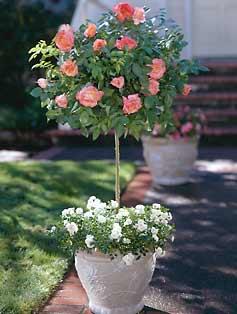 ruze stablasice u saksijama