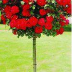 ruza stablasica lily marlen