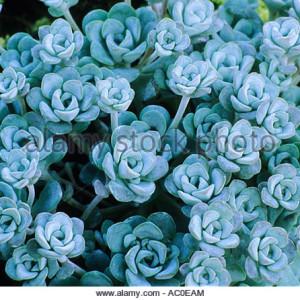 sedum spathulifolium cape blanco