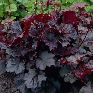 heucherella palace purple