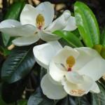magnolija grandiflora