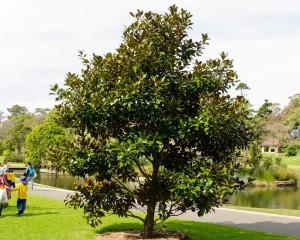 zimzelena magnolija drvo