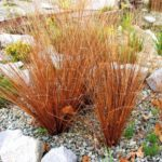 carex bronze form