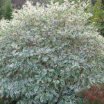 cornus alba variegata