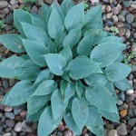 hosta-hadspen-blue