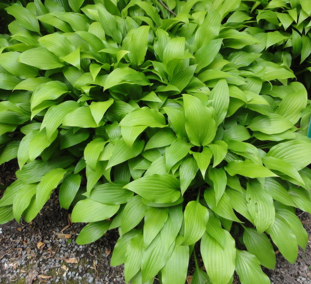 hosta niza lancifolia