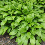 hosta clausa green