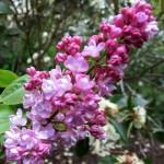 syringa vulgaris belle de nancy