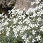 cerastium tomentosum