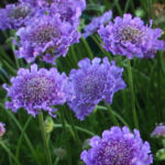 scabiosa