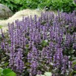 ajuga reptans