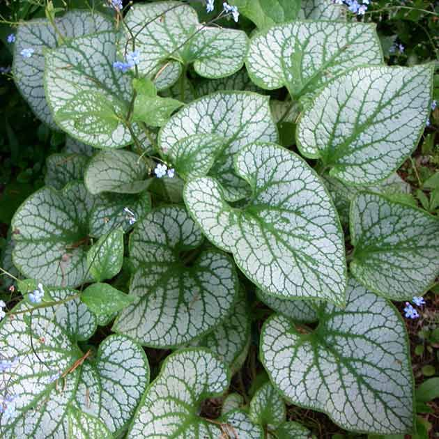 brunnera macrophylla jack frost