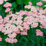 achillea pink grapefruit