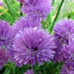 allium - ukrasni luk